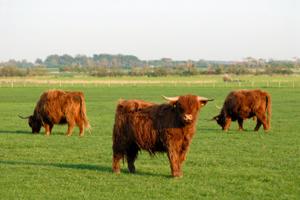 Kor-gillar-gräs-på-ängen