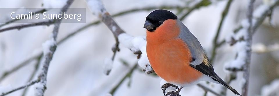 Vill du ha vinterfåglar inpå knuten? av Camilla Sundberg