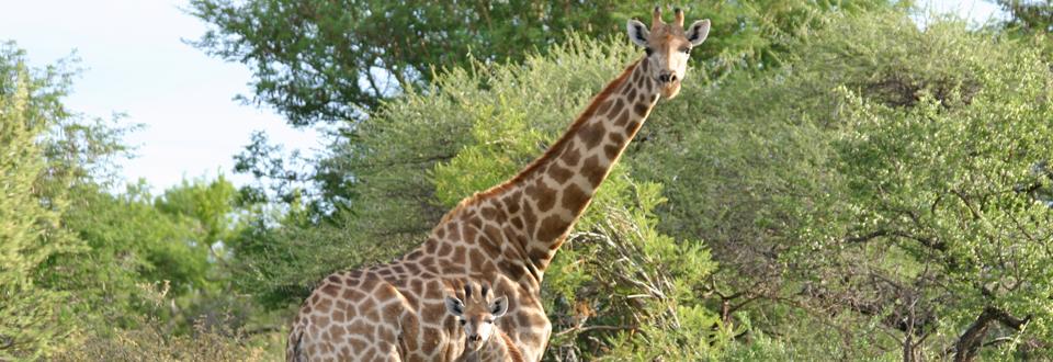 """""""En giraffmamma i vargakläder"""" av Erica Lectonius"""